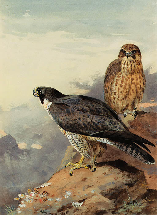 Peregrines対, 水彩画 バイ Archibald Thorburn (1860-1935, United Kingdom)