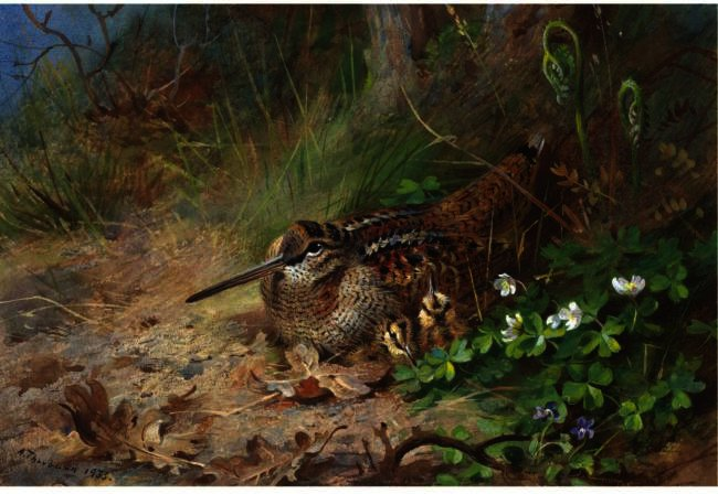 a `woodcock` と それの 若い, 水彩画 バイ Archibald Thorburn (1860-1935, United Kingdom)