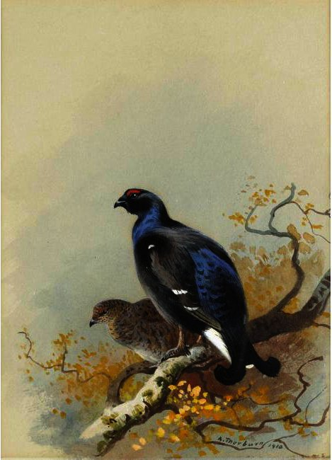 黒 ゲーム, 水彩画 バイ Archibald Thorburn (1860-1935, United Kingdom)