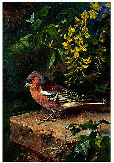 Chaffinch, 水彩画 バイ Archibald Thorburn (1860-1935, United Kingdom)