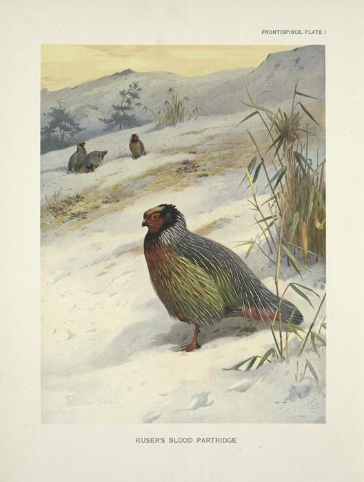Kuserの血パートリッジ(Ithagenes Kuseri) バイ Archibald Thorburn (1860-1935, United Kingdom) | ArtsDot.com