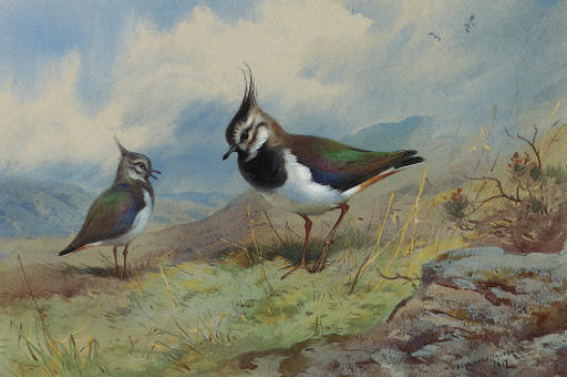 Lapwings には ロッキー 風景, 水彩画 バイ Archibald Thorburn (1860-1935, United Kingdom)