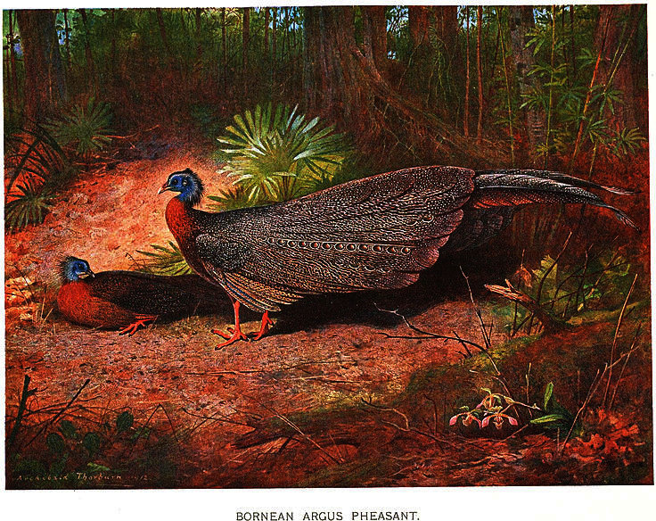 Argusianus ARGUS grayi バイ Archibald Thorburn (1860-1935, United Kingdom)